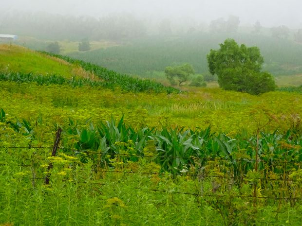 CORN-WITH-FENCE.jpg