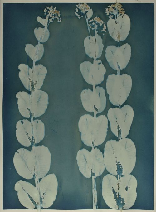 Common-Milkweed-Cyanotype-22x30-Iowa-P2000.jpg